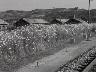 코스모스로 단장된 철도 연변